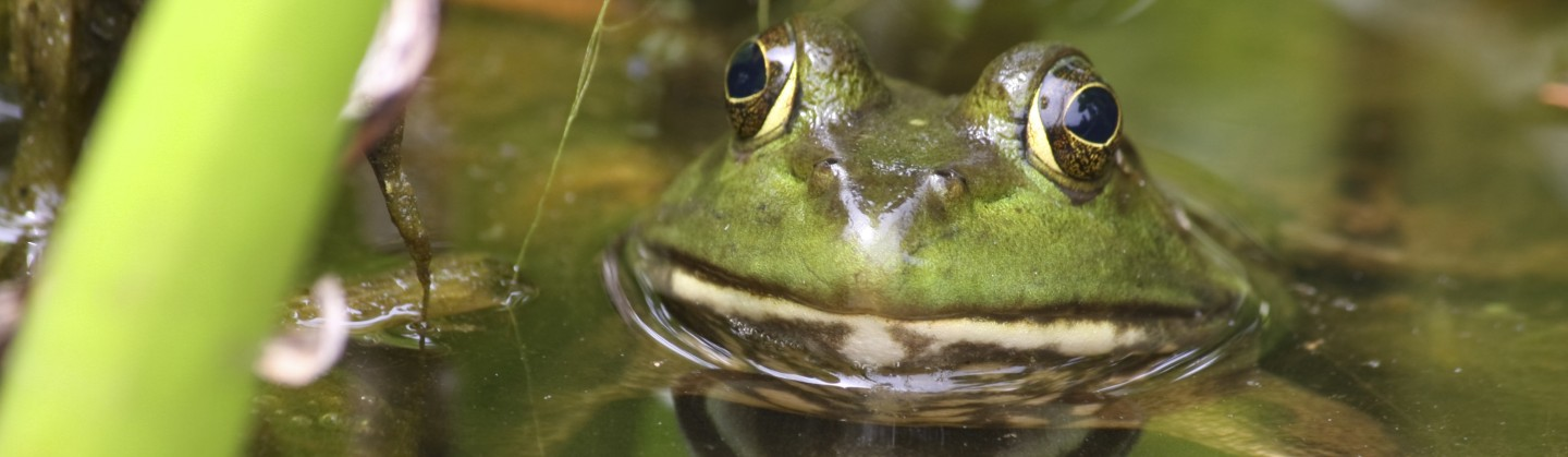american bullfrog recipes