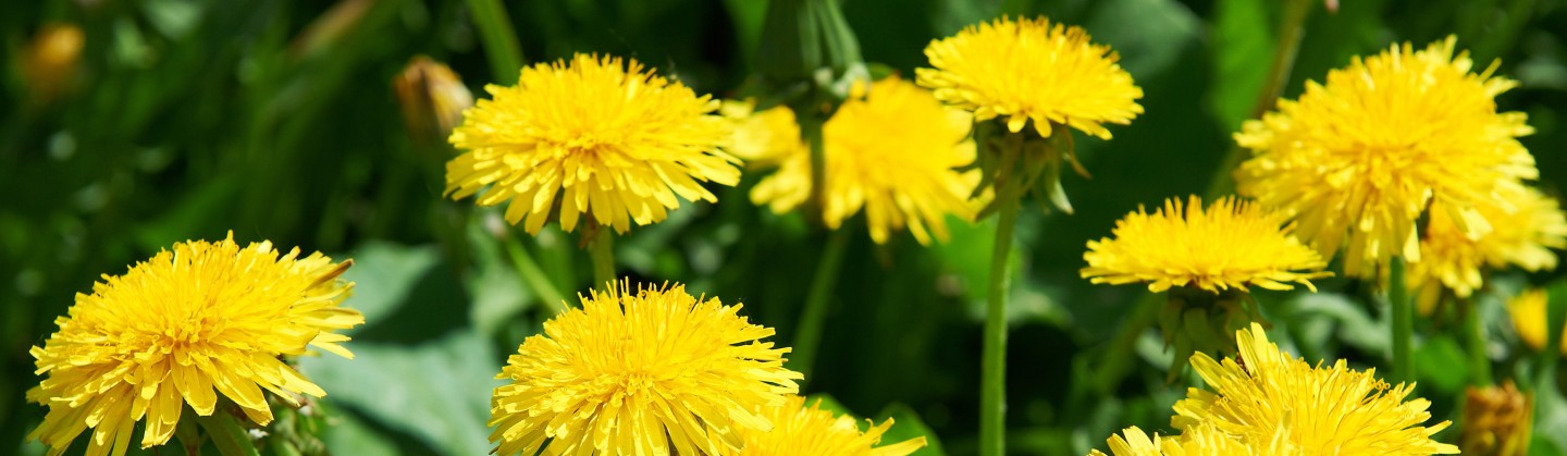 dandelions recipes