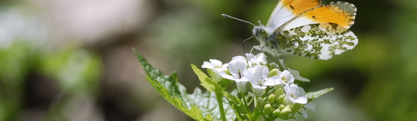 garlic mustard flower and butterfly recipes