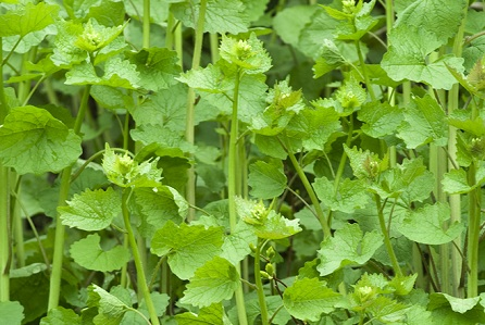 garlic mustard flower stalks 2 recipes