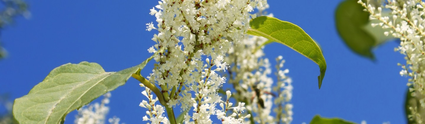 japanese knotweed flower recipes