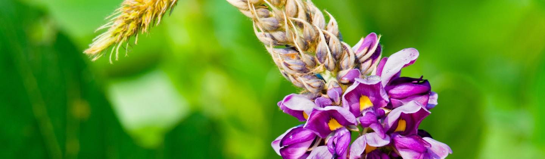 kudzu flower recipes