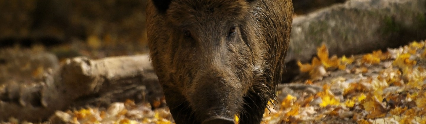 wild boar recipes