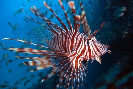 lionfish 450 x 300